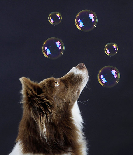 DOG 01 AC0024 01 © Kimball Stock Border Collie With Soap Bubbles In Studio