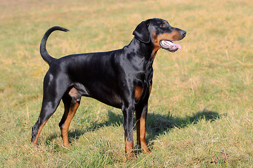 DOG 01 AC0025 01 © Kimball Stock Doberman Pinscher Standing In Grass