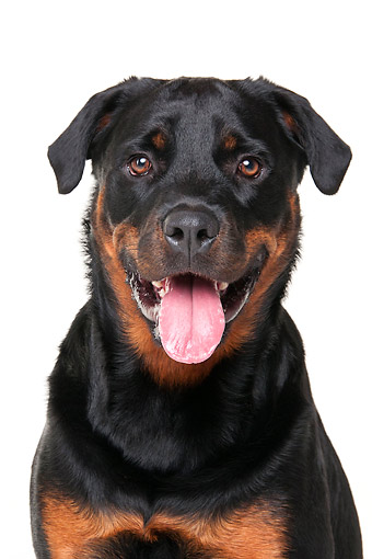 DOG 01 AC0028 01 © Kimball Stock Rottweiler Male Portrait In Studio