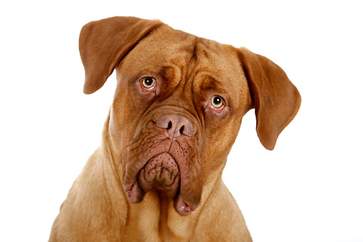 DOG 01 AC0039 01 © Kimball Stock Dogue De Bordeaux (Bordeaux Mastiff, French Mastiff, Or Bodeauxdog) Making Funny Face In Studio