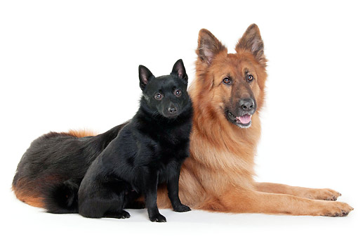 DOG 01 AC0049 01 © Kimball Stock Schipperke Male And Old German Shepherd Male Laying In Studio
