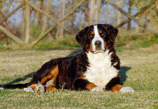 DOG 01 CB0003 01 © Kimball Stock Bernese Mountain Dog Laying On Grass By Fence