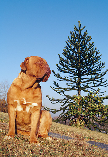 DOG 01 CB0008 01 © Kimball Stock Dogue De Bordeaux Sitting On Grassy Hillside