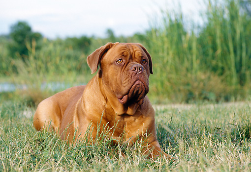 DOG 01 CB0010 01 © Kimball Stock Dogue De Bordeaux Laying In Meadow Near Pond