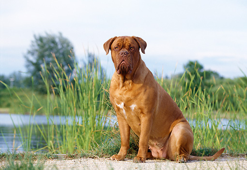 DOG 01 CB0011 01 © Kimball Stock Dogue De Bordeaux Sitting On Sand By Pond