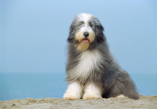 DOG 01 CB0018 01 © Kimball Stock Bearded Collie Sitting On Sand