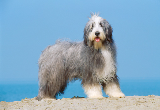 DOG 01 CB0019 01 © Kimball Stock Bearded Collie Standing On Sand