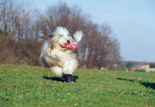 DOG 01 CB0021 01 © Kimball Stock Bearded Collie Fetching Toy On Field