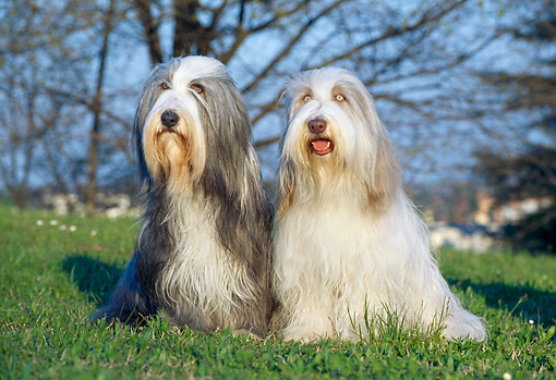DOG 01 CB0022 01 © Kimball Stock Two Bearded Collies Sitting On Grass