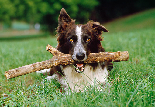 DOG 01 CB0023 01 © Kimball Stock Border Collie Laying On Grass With Stick In Mouth