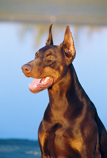 DOG 01 CB0038 01 © Kimball Stock Portrait Of Doberman Pinscher Sitting By Water