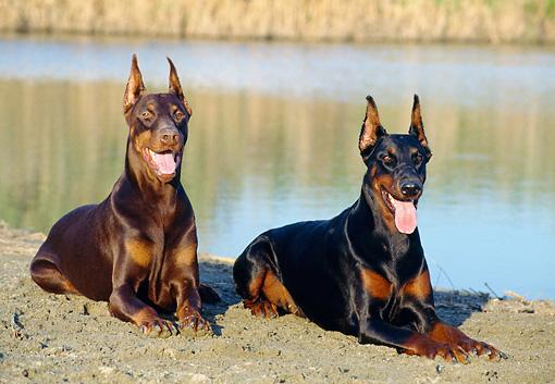 doberman pinscher - Animal Stock Photos - Kimballstock - photo#48