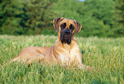 DOG 01 CB0043 01 © Kimball Stock Great Dane Laying In Meadow