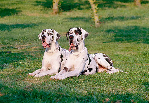DOG 01 CB0055 01 © Kimball Stock Two Great Danes With Natural Ears Laying On Grass