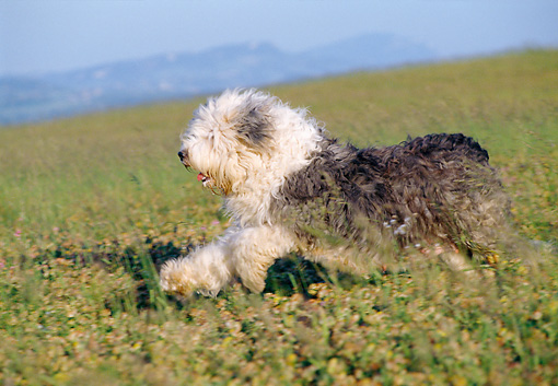 DOG 01 CB0056 01 © Kimball Stock Old English Sheepdog Running Through Meadow