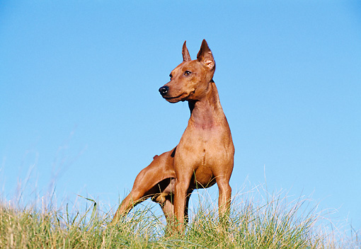DOG 01 CB0081 01 © Kimball Stock Pinscher Standing On Grass Against Blue Sky