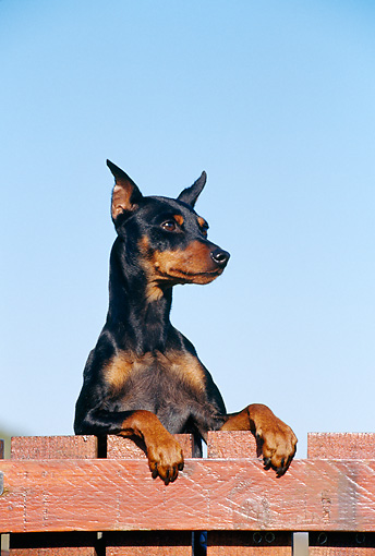 DOG 01 CB0084 01 © Kimball Stock Pinscher Leaning Over Wooden Fence