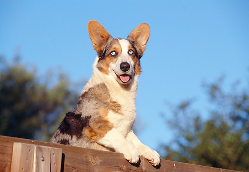 DOG 01 CB0087 01 © Kimball Stock Cardigan Welsh Corgi Leaning Over Wooden Fence