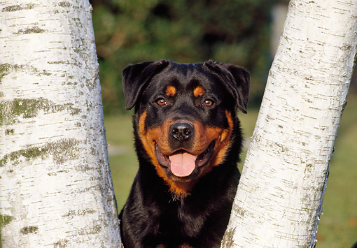 DOG 01 CB0096 01 © Kimball Stock Portrait Of Rottweiler Between Two Birch Trees