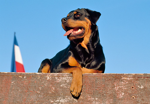 DOG 01 CB0097 01 © Kimball Stock Rottweiler Laying On Wooden Deck By Flag