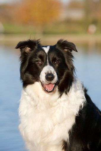 DOG 01 CB0112 01 © Kimball Stock Portrait Of Border Collie Sitting By Water