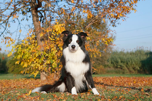 DOG 01 CB0114 01 © Kimball Stock Border Collie Sitting On Grass And Autumn Leaves
