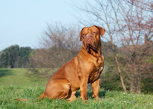 DOG 01 CB0124 01 © Kimball Stock Dogue De Bordeaux Sitting On Grass