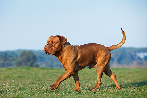 DOG 01 CB0127 01 © Kimball Stock Dogue De Bordeaux Walking On Grass
