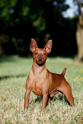 DOG 01 CB0131 01 © Kimball Stock Portrait Of Pinscher Standing On Grass