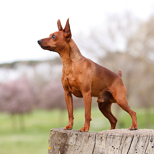 DOG 01 CB0133 01 © Kimball Stock Portrait Of Pinscher Standing On Stump