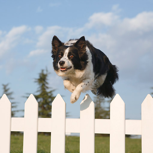 DOG 01 CB0144 01 © Kimball Stock Border Collie Jumping Over Fence