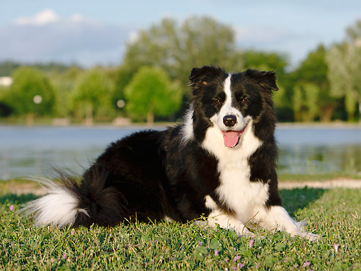 DOG 01 CB0145 01 © Kimball Stock Border Collie Laying In Grass By Water