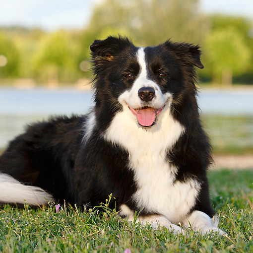 DOG 01 CB0146 01 © Kimball Stock Border Collie Laying In Grass By Water