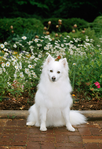 DOG 01 CE0009 01 © Kimball Stock American Eskimo Sitting On Brick Patio By Flowers