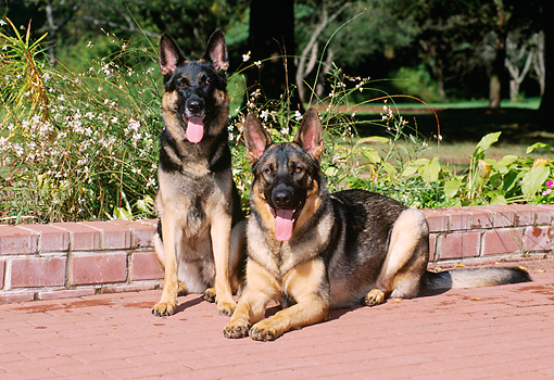 DOG 01 CE0234 01 © Kimball Stock German Shepherds Sitting And Laying On Brick Patio