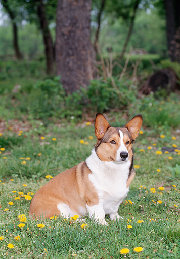 DOG 01 CE0248 01 © Kimball Stock Pembroke Welsh Corgi Sitting In Grass And Dandelions