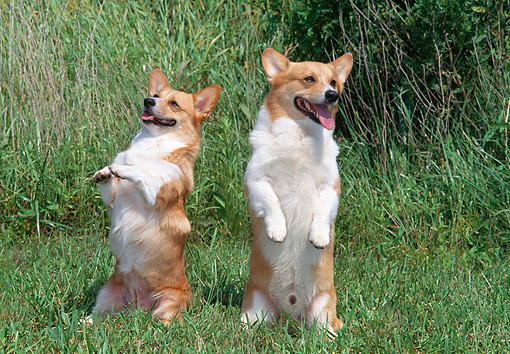 DOG 01 CE0254 01 © Kimball Stock Two Pembroke Welsh Corgis Sitting Upright By Tall Grass