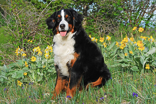 DOG 01 DB0001 01 © Kimball Stock Bernese Mountain Dog Sitting In Grass By Plants
