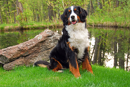 DOG 01 DB0002 01 © Kimball Stock Bernese Mountain Dog Sitting By Forest Pond