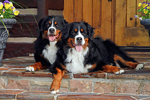 DOG 01 DB0004 01 © Kimball Stock Bernese Mountain Dogs Laying On Stone Steps In Front Of Cabin