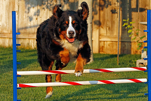 DOG 01 DB0005 01 © Kimball Stock Bernese Mountain Dog Jumping Over Hurdle