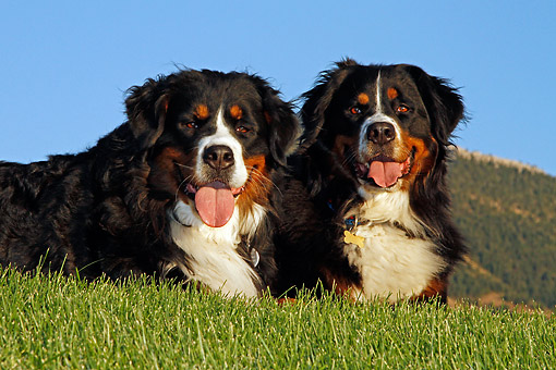 DOG 01 DB0006 01 © Kimball Stock Bernese Mountain Dogs Laying Together In Grass