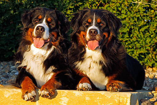 DOG 01 DB0007 01 © Kimball Stock Bernese Mountain Dogs Laying Together