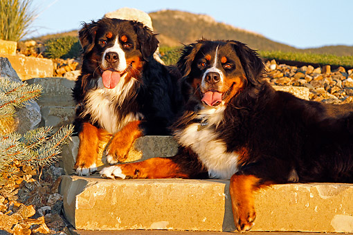 DOG 01 DB0008 01 © Kimball Stock Bernese Mountain Dogs Laying Together On Stairs