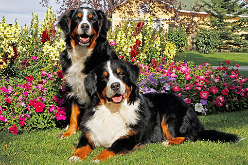 DOG 01 DB0009 01 © Kimball Stock Bernese Mountain Dogs Laying Together In Garden