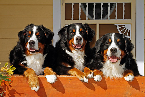 DOG 01 DB0010 01 © Kimball Stock Bernese Mountain Dogs Laying On Patio In Front Of House