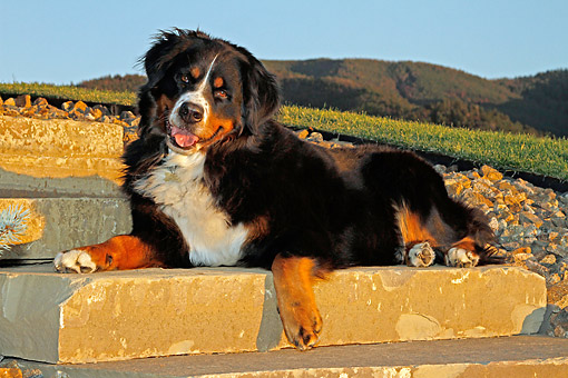 DOG 01 DB0011 01 © Kimball Stock Bernese Mountain Dog Laying On Stairs By Hills At Sunset