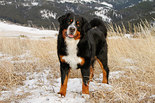 DOG 01 DB0012 01 © Kimball Stock Bernese Mountain Dog Standing At Base Of Snowy Mountains