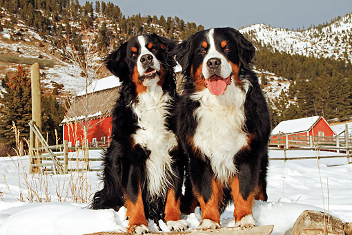 DOG 01 DB0013 01 © Kimball Stock Bernese Mountain Dogs Standing On Farm At Base Of Snowy Mountains