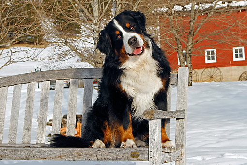 DOG 01 DB0014 01 © Kimball Stock Bernese Mountain Dog Sitting On Bench In Snow By Barn